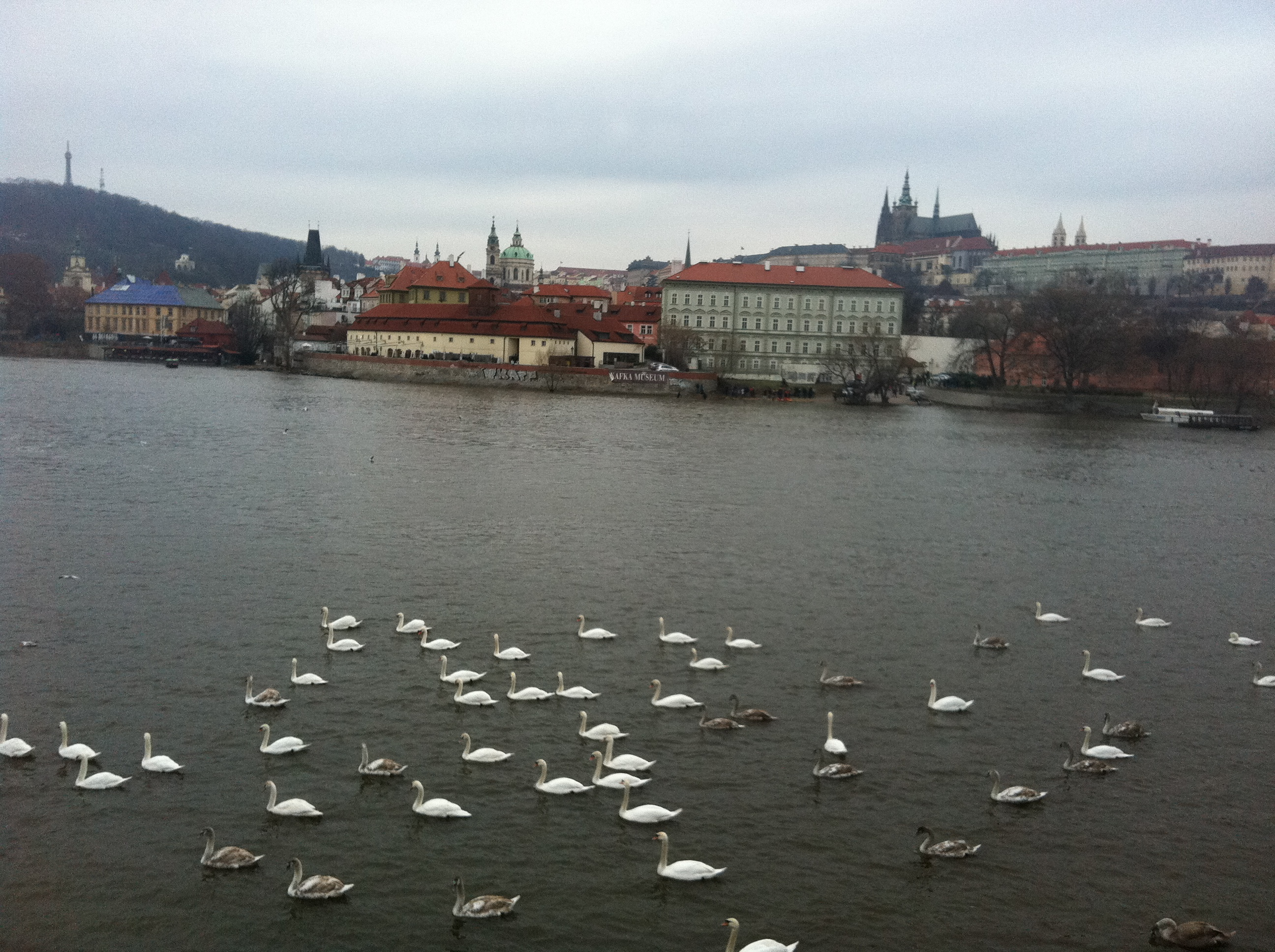 Swans swimming towards Charles Bridge